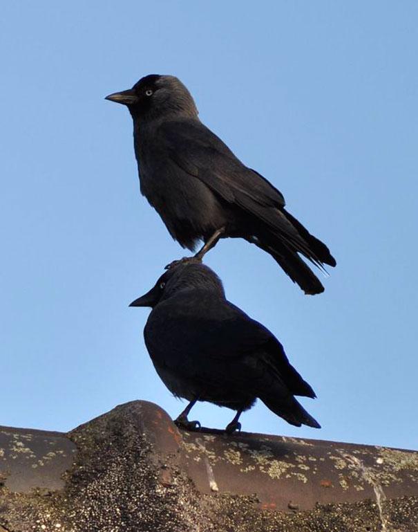 Черный ворон прикольные картинки, виде